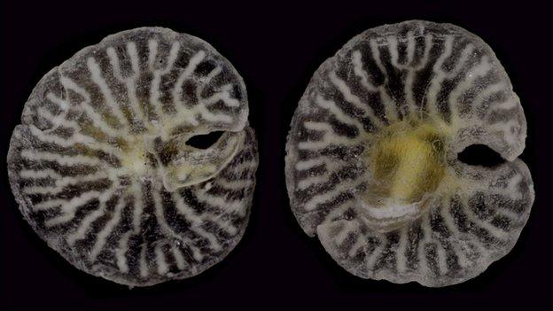 Se asemejan a los organismos del Período Ediacaran, muchos de los cuales se pensaba que eran callejones sin salida evolutivos